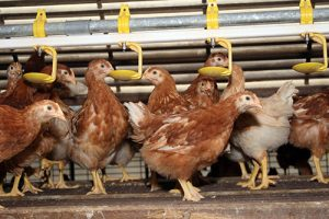 16-6-2-heavy-metals-in-water-on-poultry-farm